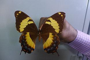 Papilio SMALLER